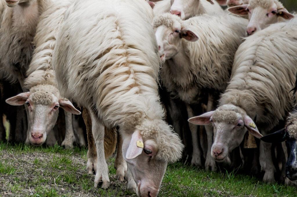 Cani  a tutela della pastorizia e della biodiversità